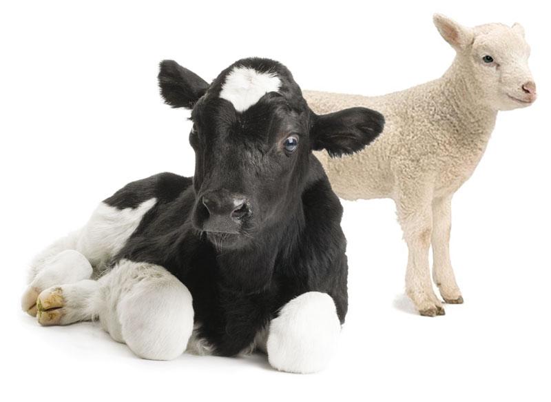 allattatrice vitelli capretti