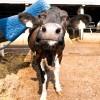 Щетки-чесалки для коров