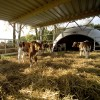 Igloo per vitelli