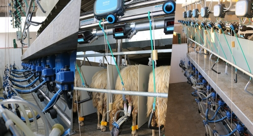 New Milking parlour for sheep with MILPRORED SG